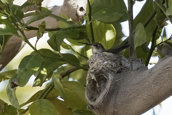 колибри, майка на птица, природата, птица, майка, женски, дърво