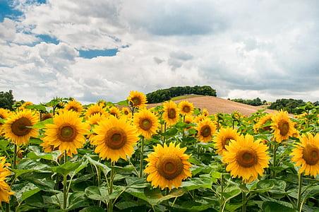 sunflowers, field, hill, sunflower field, summer, nature, yellow