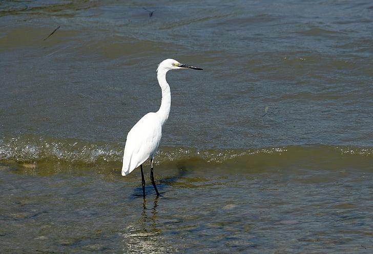 heron, eastern, water, bill, wildlife photography, fish eater, bird