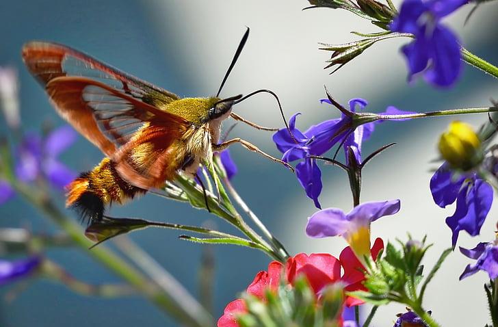 hummingbird sphinx moth, butterfly, summer flowers, sphinx hummingbird, colors, garden, fly
