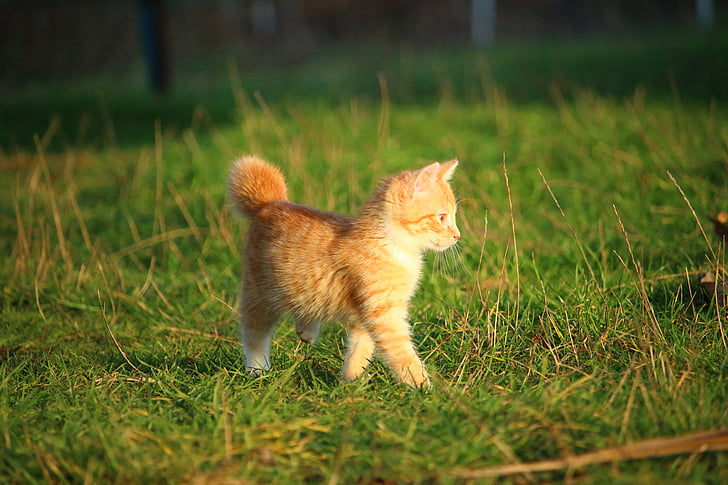 cat, kitten, cat baby, young cat, red cat, domestic cat, grass