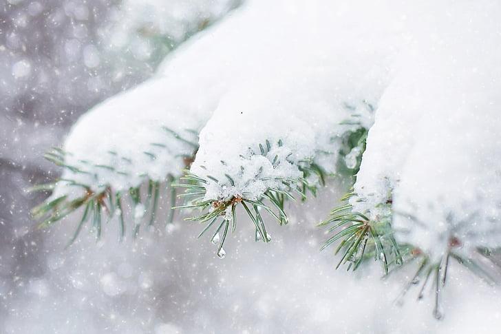 snow in pine tree, pine branch, winter, snow, tree, branch, christmas