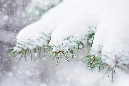 หิมะในต้นสน, สนสาขา, ฤดูหนาว, หิมะ, ต้นไม้, สาขา, คริสมาสต์