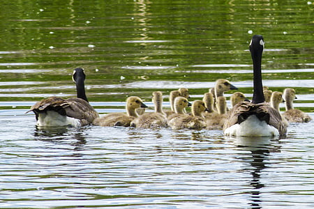 Kanadanhanhi, Poikaset, Nuorten hanhien, Luonto, Wildlife, Poikaset, vauva