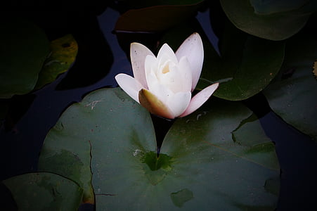 lily, flower, lake, water Lily, nature, pond, lotus Water Lily