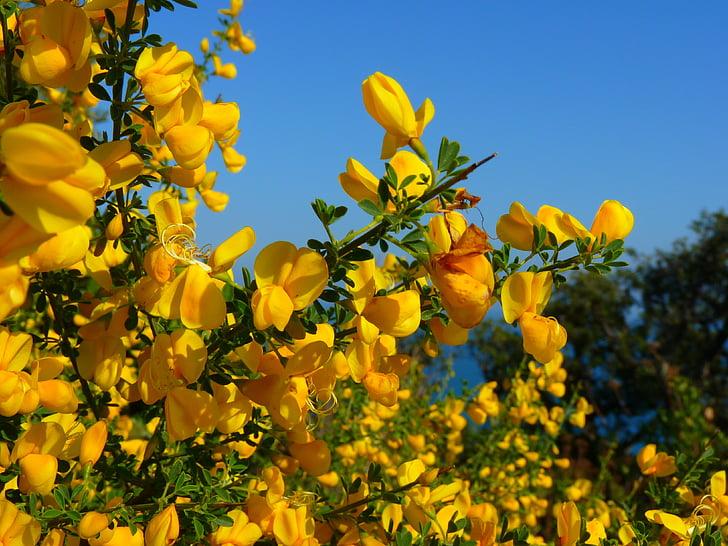 escombra, groc, flor, flor, tòxics, natura, olor