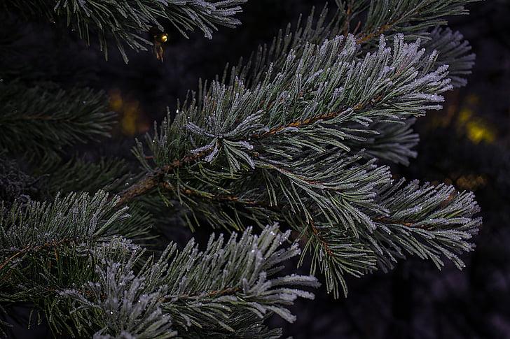 winter, six, needles, frost, frozen, nature, christmas