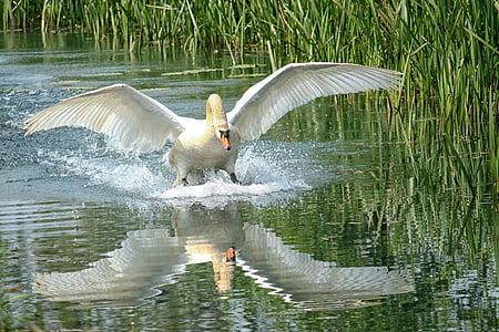 joutsen, Lake, vesi, vesillä, veden heijastus, siipi, Bernhard klepel