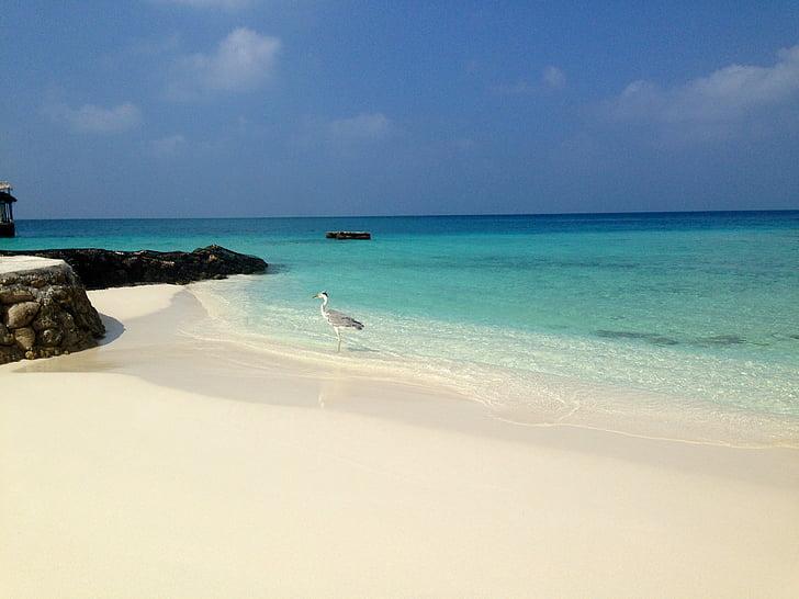 víz, Beach, tenger, Maldív-szigetek, madár, homok