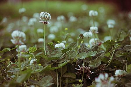 clover, flower, wild, wild flower, nature