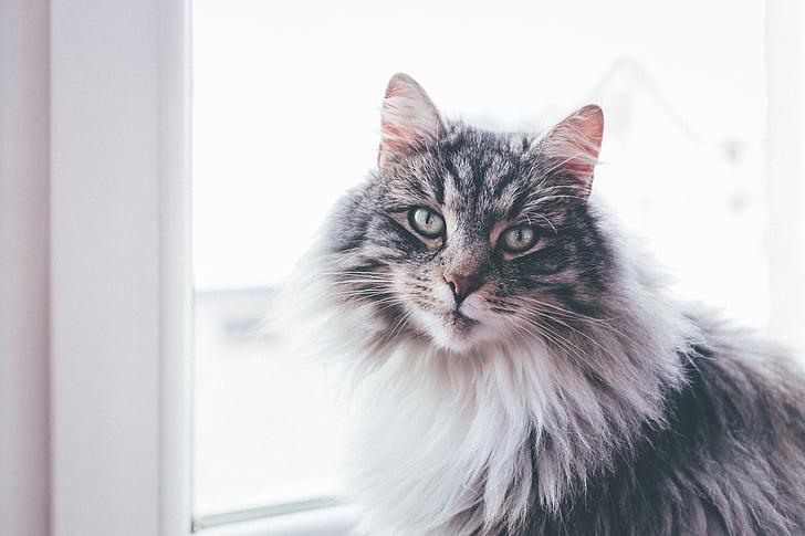 kat, dier, huisdier, bont, deelvenster, venster, Indoor