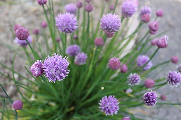 cebollino, planta, aromático, planta aromática, flor de cebollino, hierbas, jardín