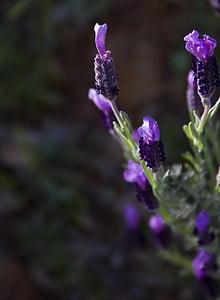 levandų pumpurai, Levanda, gėlės, žydėti, violetinė, pavasarį, vieno gėlės