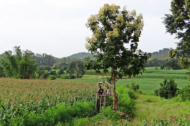 maize fields, perch, farmer's perch, teak tree, farmers, farm watch, western ghats