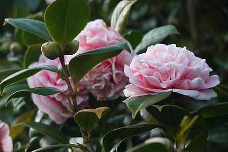 Camellia, bunga, Taman, bunga, lindung nilai, alam, hijau