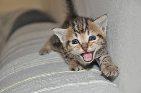 mjäu, väike kass, kass, loomade, Miao, tuss kass