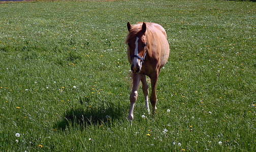 horse, coupling, pasture, graze, paddock, mane, ride