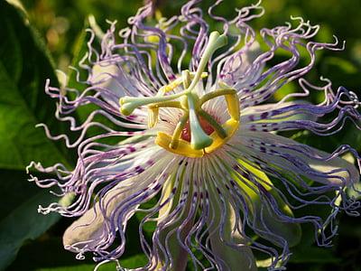 flor de la passió de porpra, flor de la passió, flor porpra, flor, pètals