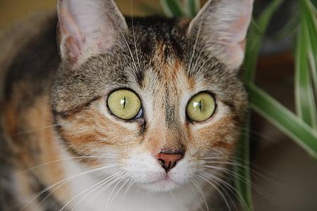 котка, домашна котка, котешки очи, котка лице, главата