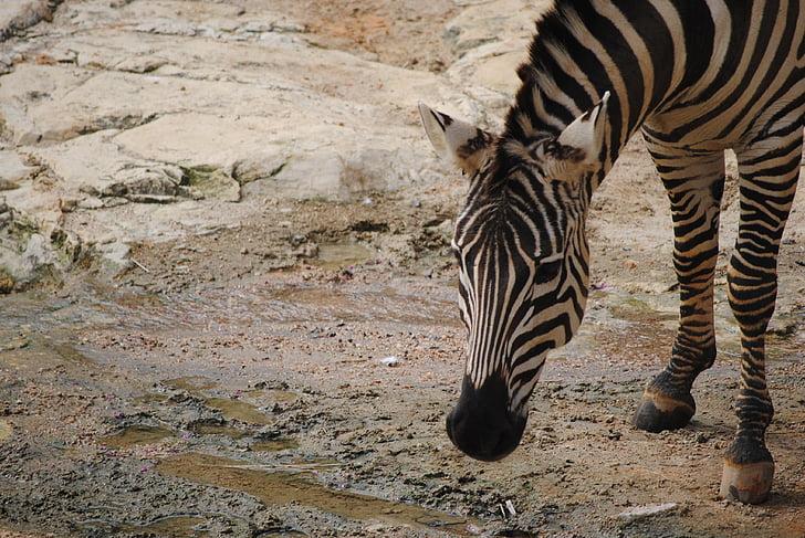 Zebra, noir, blanc, nature, animal, mammifères, Balance