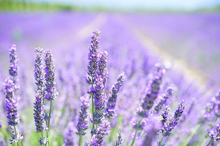 flor d'espígol, porpra, violeta, llum violeta, camp de lavanda, flors, flora