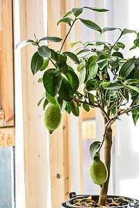 llimoner, llimona, arbre, fruita, cítrics, natura, aliments