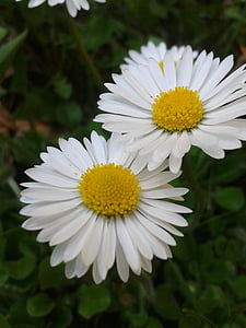 Margarida, blanc, groc, flor, primavera, tancar, flor