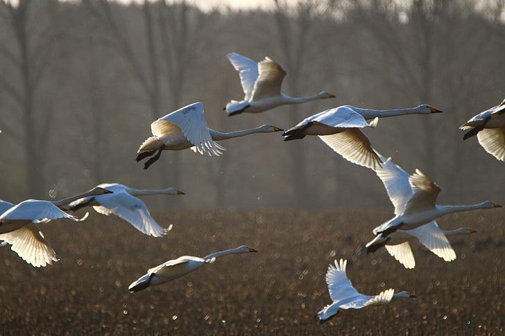 whooper swan, bird, swan, arable, field, migratory bird, swans