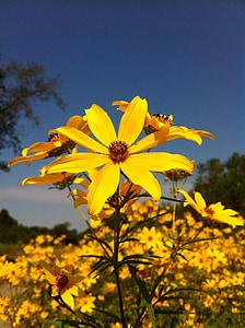 päevalill, kollane lill, lill, ere, taim, väli, kroonleht