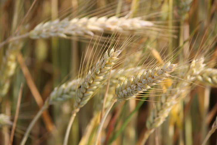 nature, cereals, agriculture