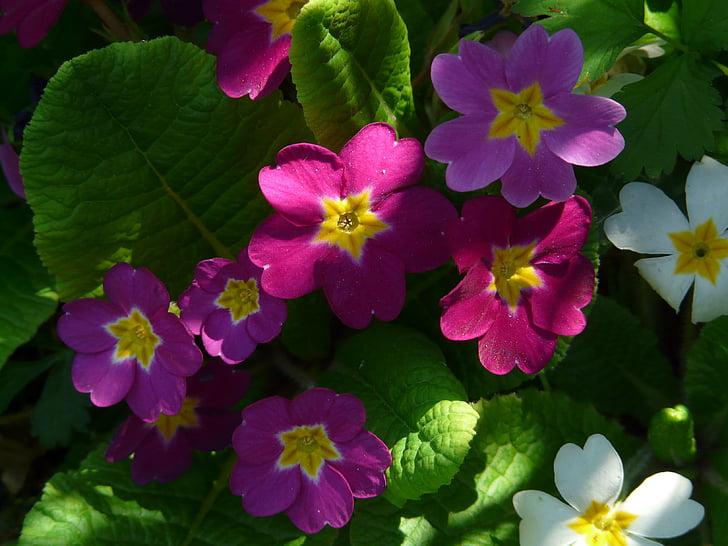 primrose, flower, blossom, bloom, red, color, colorful