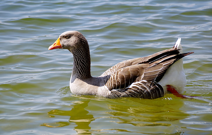 wild goose, bird, water bird, poultry, migratory birds, goose, nature