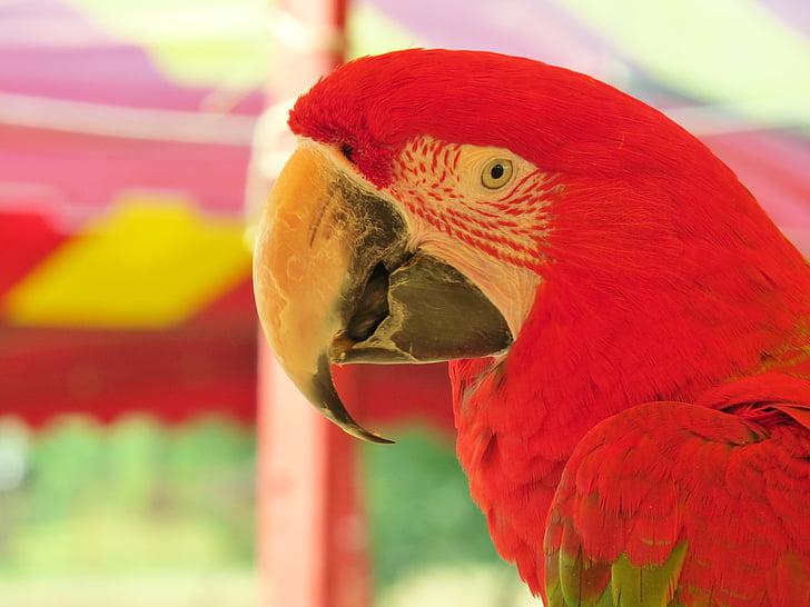 parrot, red, colorful, beak, exotic, bird