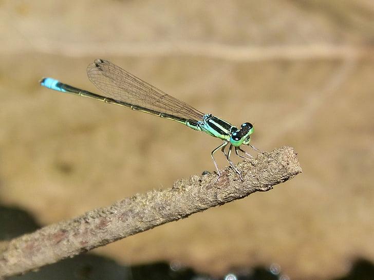 vážka, zelená a modrá, rieka, pobočka
