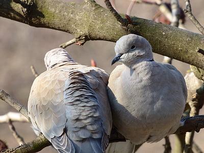 vtáky, holuby, holuby a holubice, vták, zviera, Príroda, voľne žijúcich živočíchov