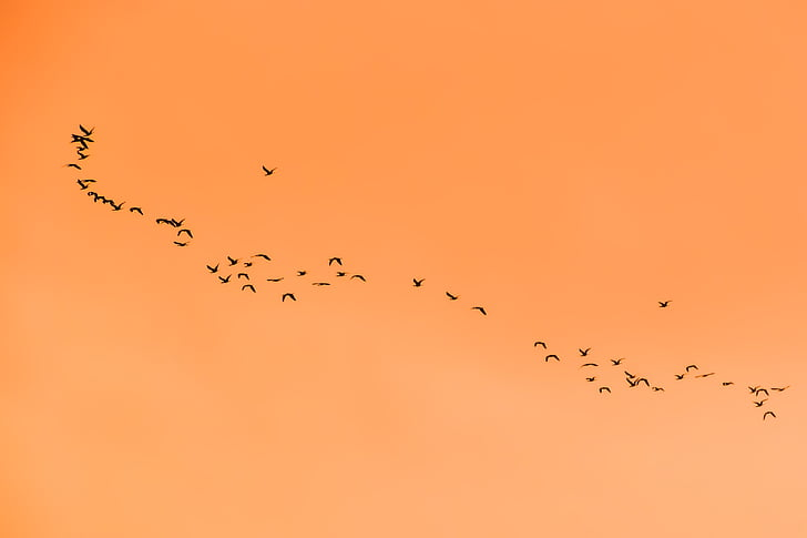 рояк, стадо, птици, прелетни птици, миграция, залез, природата