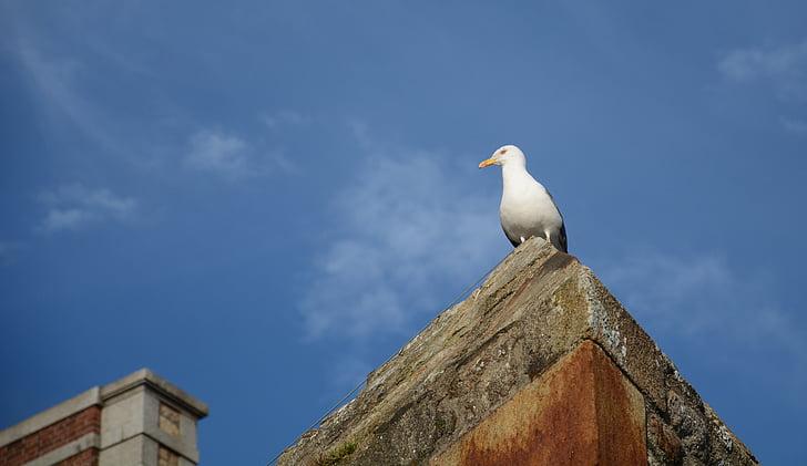 lokki, lintu, lokki, Brittany, Sea bird, eläinten