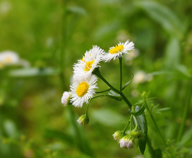virágok, fehér, sárga, gyom, zöld, nogiku no haka, természet