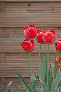 tulbid, heinamaa, voodi, kevadel, lilled, loodus, Aed