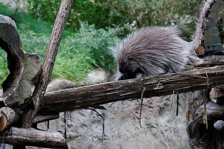 Bodljikavi praščići, bodljikavo prase, zapisnik, Ograđivanje, životinja, Zoološki vrt, zumiranje gelsenkirchen