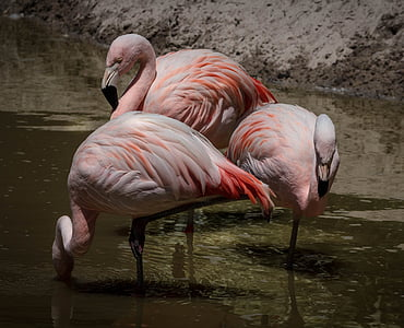 Фламинго, розово Фламинго, мигрираща блатна птица, стадо, пера, почивка, хранене