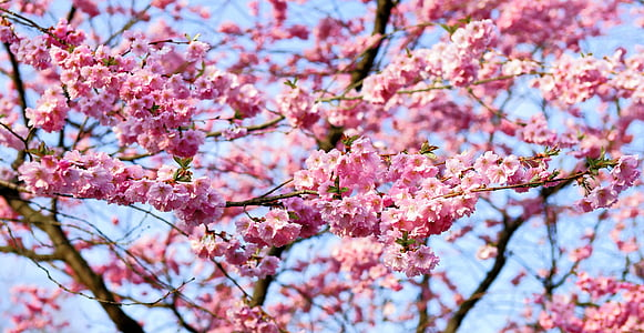 cherry blossom, japanese cherry, smell, blossom, bloom, japanese flowering cherry, ornamental cherry