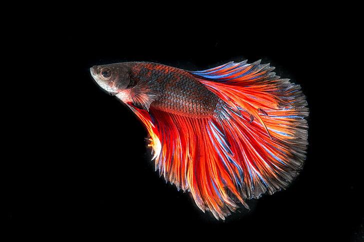 ปลากัด, ปลา, สามสี, การต่อสู้, ปลาไทย, สะบัด, พื้นหลังสีดำ