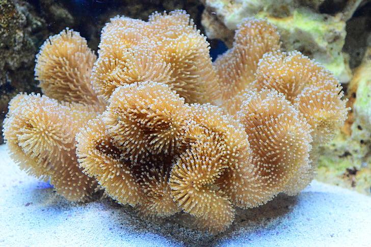 akvarij, koraljni, koža, greben, pečurka, gljiva, marinac