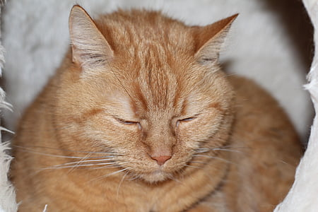 cat, red, sleep, red cat, pet, domestic cat
