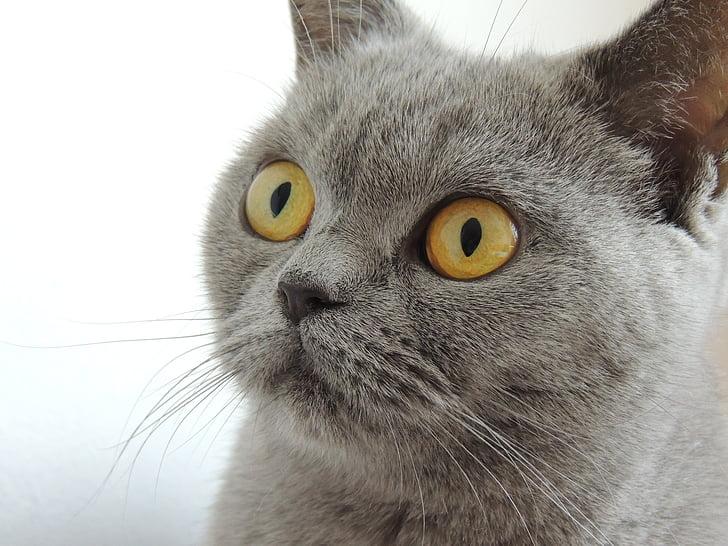 cat, eyes, view, face, animal, home, british shorthair