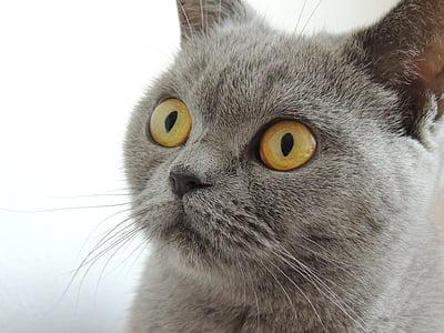 kissa, silmät, näkymä, kasvot, eläinten, Etusivu, brittiläinen shorthair