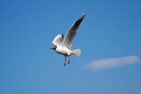 valge, must, tuvi, Kajakas, lennata, lind, rannikul