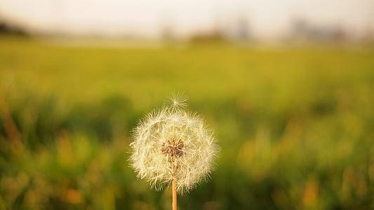 bulanıklık, yakın çekim, karahindiba, çiçek, doğa, Yaz, bitki