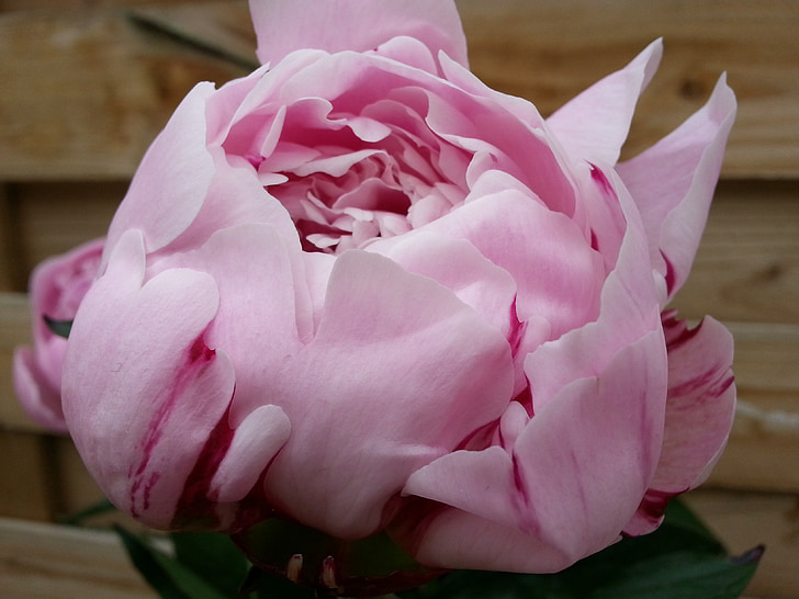 peony, flower, plant, pink